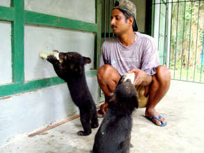 Orphaned Asiatic black bear cubs being handraised