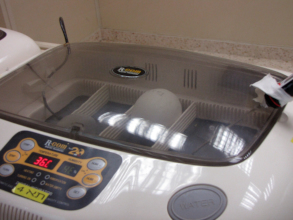 An egg in an incubator - a species' hope