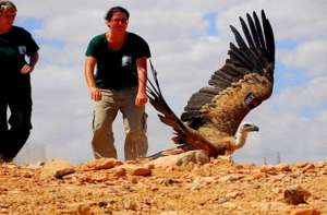 A griffon vulture is released into the wild