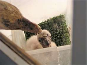 A vulture chick hand reared using a feeding puppet