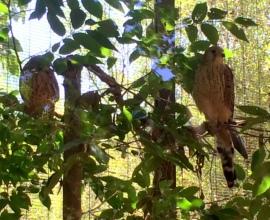 A pair of lesser kestrels await their release