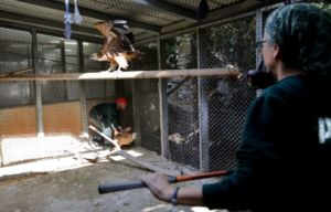 Griffon vultures in quarantine at the Zoo