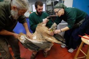 Team members examine a griffon vulture