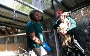 Staff members handle a vulture from Spain
