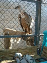A vulture in quarantine prior to being released