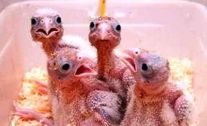 Lesser kestrel chicks