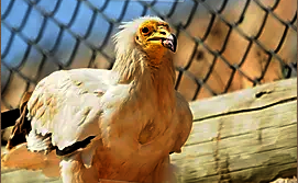 An Egyptian Vulture at the Zoo