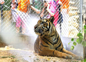 Children give a tiger a refreshing cool shower