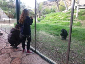 Observing the chimpanzees