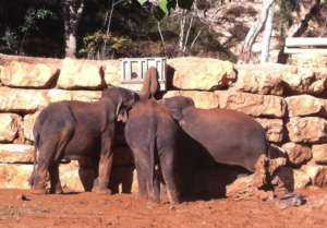 Elephants reacting to an intelligence experiment
