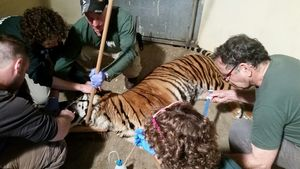 Avigdor receiving veterinary treatment at the Zoo