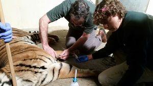 Avigdor receiving veterinary treatment