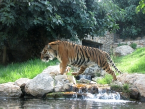 A magnificent Sumatran tiger at the Jerusalem Zoo
