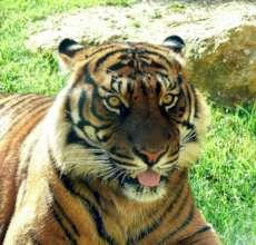 Sumatran Tigers - a critically endangered species