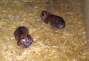 The cubs shortly after birth