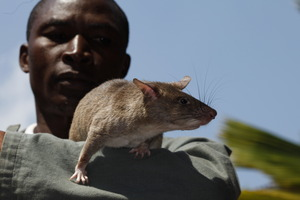 Rat and trainer