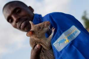 Two of APOPO's Heroes: Shaibu and a HeroRAT