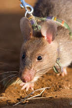 HeroRAT ready for action, sniffing out landmines