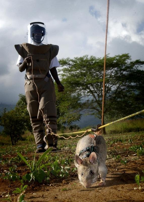 HeroRATs: Sniffing Out Landmines and Tuberculosis