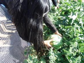 Ruth's Garden Watermelon Harvest