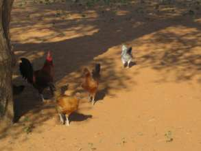 Chickens are a lifesaver for the frail and elderly