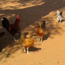 Chickens for eggs - saving lives in Darfur