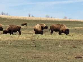 Buffalo on Fort Berthold