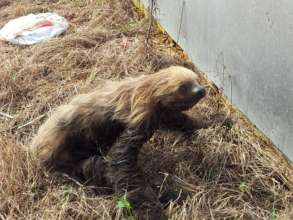 Sloth rescued after swimming through muddy ditch.