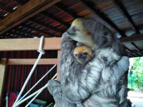 Reunited with mama sloth after two days