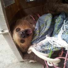 Sloth entangled in hammock and ropes