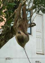 Chained sloth...