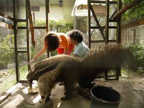 Vet giving giant anteater a check up.