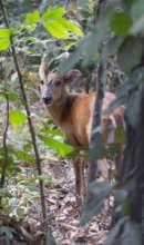 Released Muntjac deer