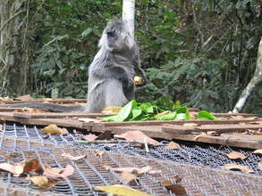 The Langurs Leaving their Release Enclosure