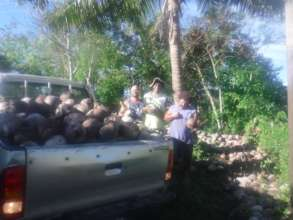 Coconut Seedlings by the Truck-load