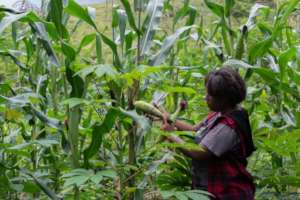 Milisa in the cassava/corn inter-cropping garden