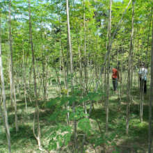 Mature  moringa plants