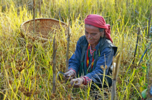 A woman in traditional dress harvests millet