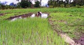 Rice field in Datalnay
