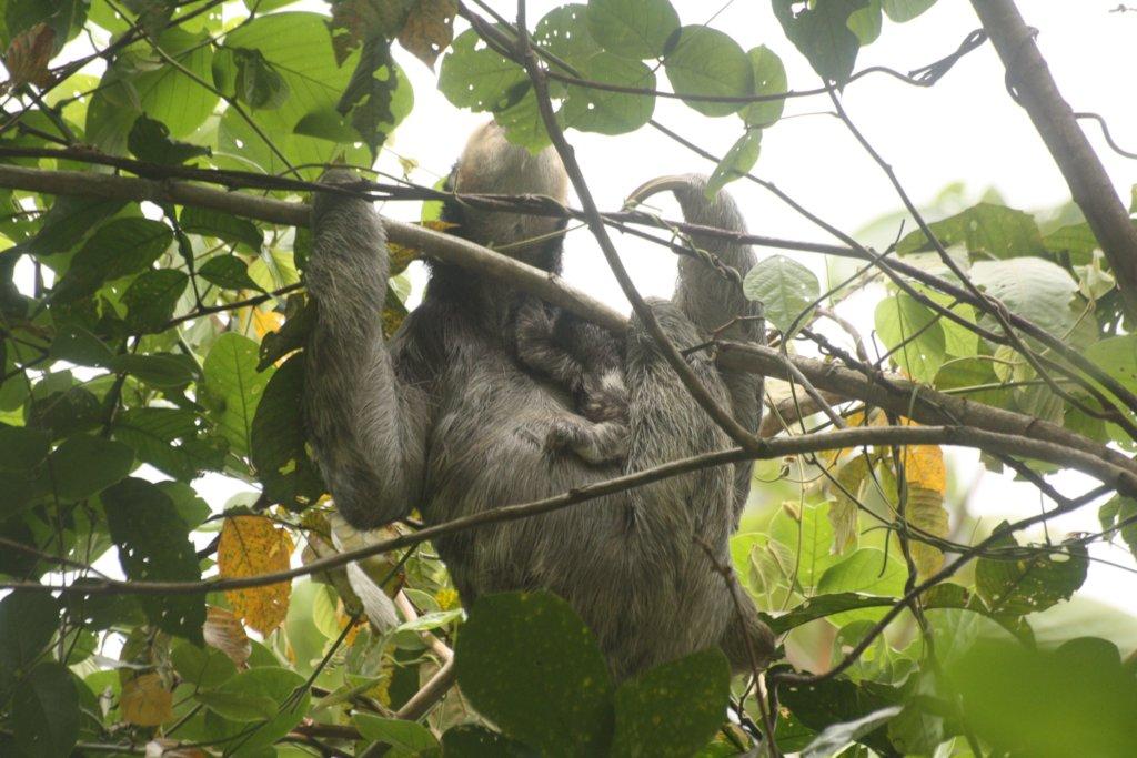 Sloth Sanctuary Suriname sequel: the whole story!
