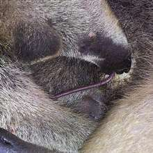 Baby anteater suckling