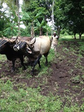 An ox-plow at work