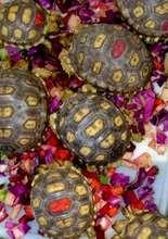 Negev Desert Tortoises Feeding