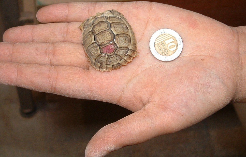 Save the Negev Desert Tortoise!