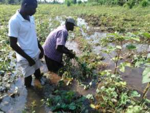 Farmers removing dead plants because of inundation