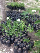 OFAMA seedlings to be planted in the community