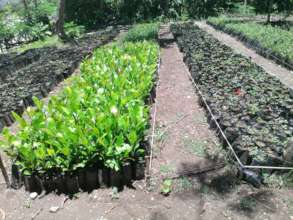 SADN Coffee seedlings