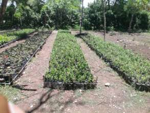 SADN coffee seedlings ready to plant