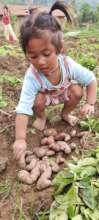 Ganga helps with potato harvest