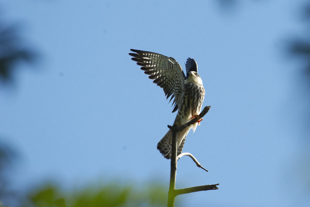 Flying Free: Save the Amur Falcon